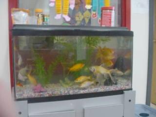 Aquarium shark catfish - photo#38