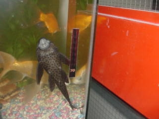 A Picture Of Large Fish Plecostamus With Black Spots Swimming Head Up